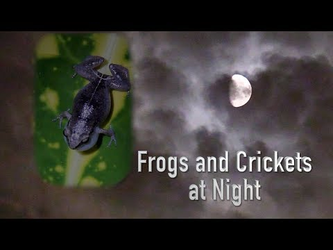 Frogs and Crickets at Night