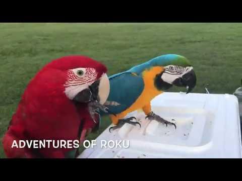 Pet Birbs Free Flying