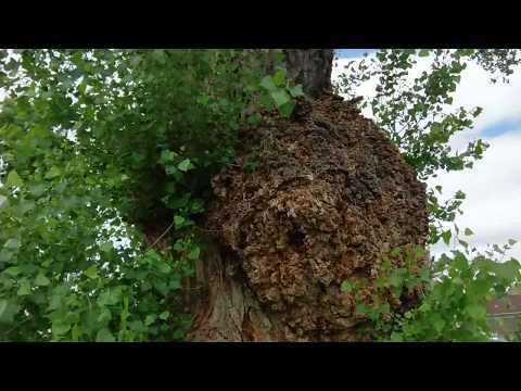 3 Million Dollar Tree Struck With Disease