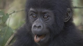 Celebrate Dian Fossey's Birthday with Baby Gorillas