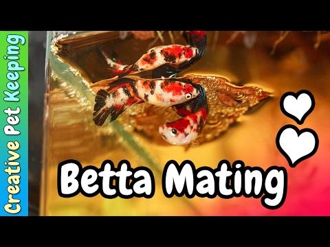 HOW TO Breed Betta Fish ❤   Marble Koi Betta Mating/Spawning Behavior