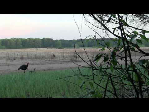 B&P Mississippi Scratchbox turkey hunt