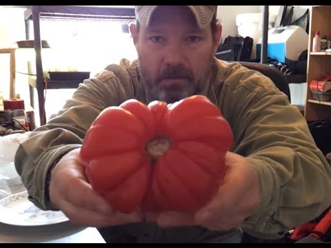 Seed Saving ~ Ugly Ripe Heirloom Tomato picked up at Martin's Grocery Store