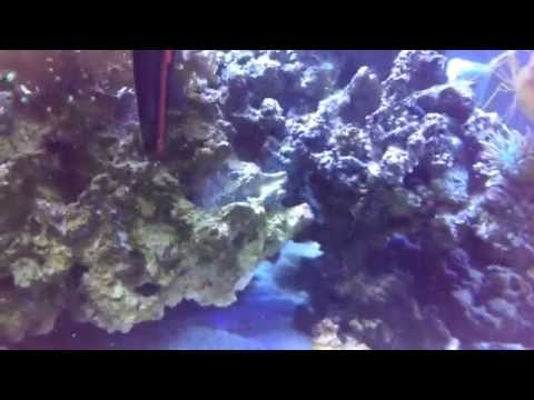 Reef Tank Live Rock Cleaning Without Removal