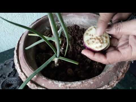 How to grow brinjal in pots by seed in new way/Eggplant grow and care/Easiet and cheapest way👍