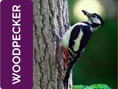 WOODPECKER Meaning: be part of something bigger (Spirit Animal, Power Animal and Totem Series)