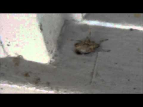 Killing Stink Bugs with Soapy Water and peppermint oil