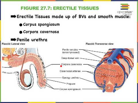9C Male Urethra and Erectile Tissues