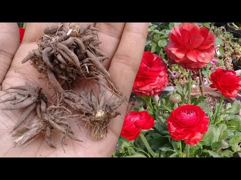 How to save Ranunculus Corms for next season | Digging and Storing Ranunculus Bulb