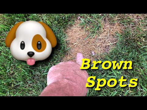 Brown Patch Fungus or Dog Pee?