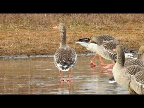 Greylag Geese skating on ice