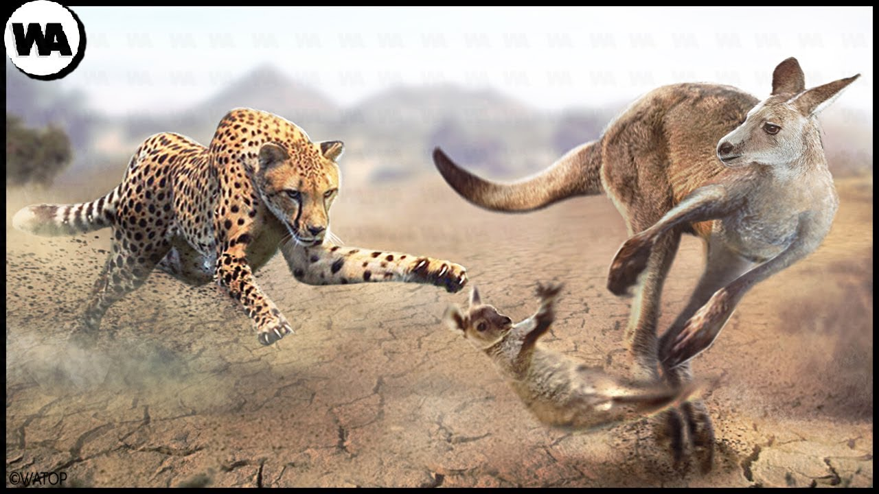 The Reason Why Kangaroo Abandons Its Baby to Predators