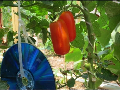 Tomatoes, Birds & CDs: How To Keep Birds Out of Your Garden