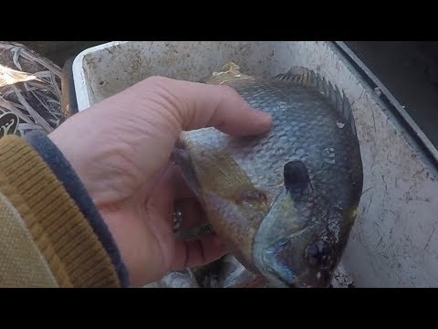 Catching CATFISH with CUT BAIT during the Winter