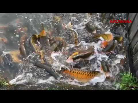 Golden Crossback Arowana Playing In The Water