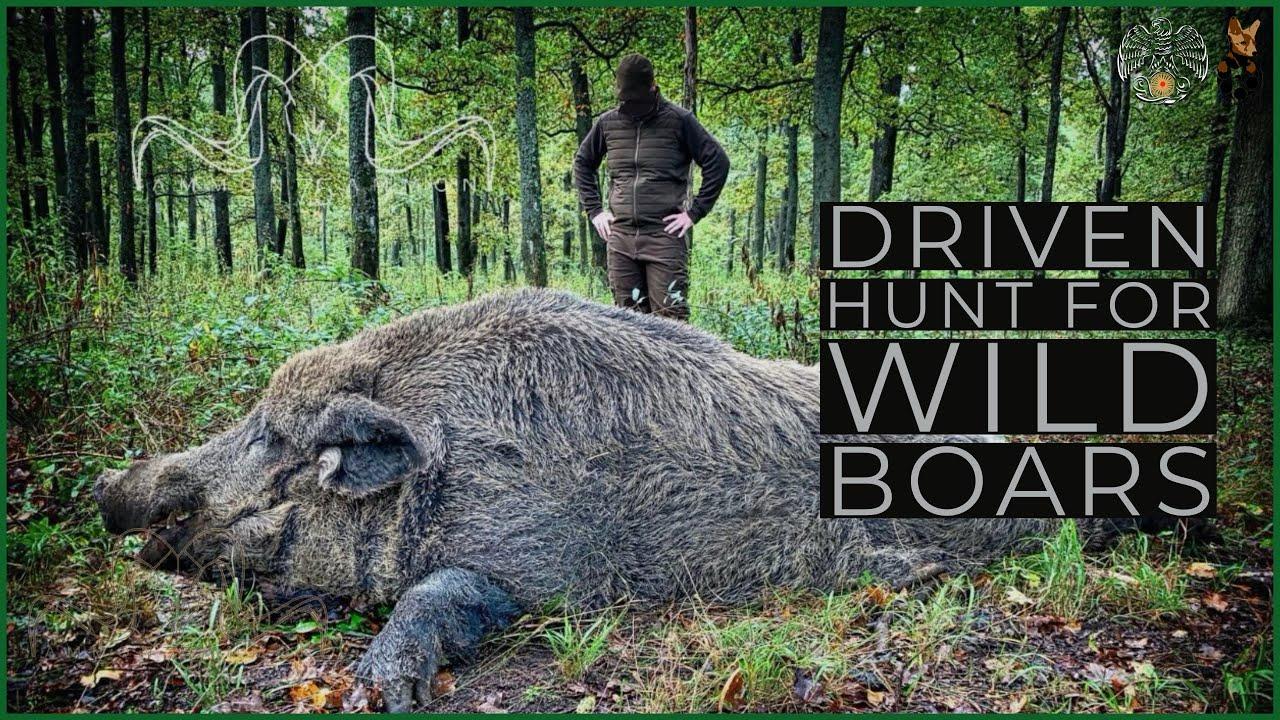 Driven Hunt for wild boars