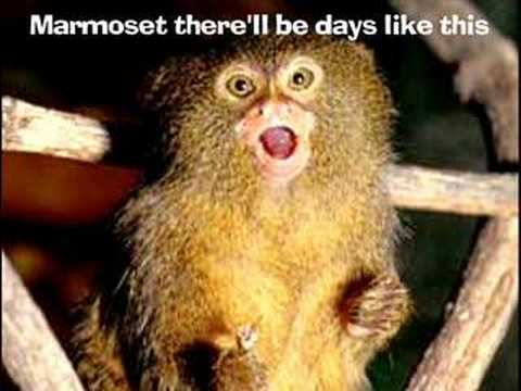 The Marmoset Song