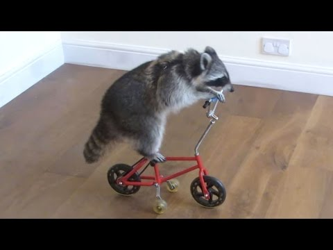 Funny Raccoons ★ Keep Calm And Be A Raccoon [Funny Pets]