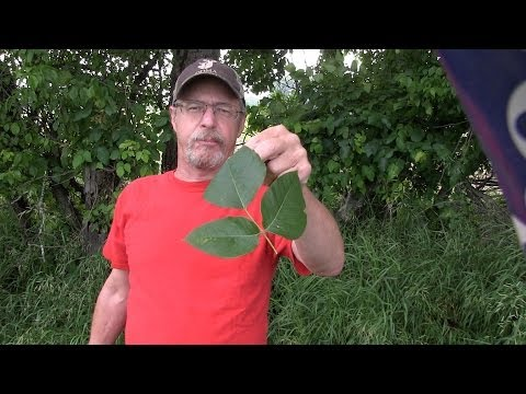 How to never have a serious poison ivy rash again