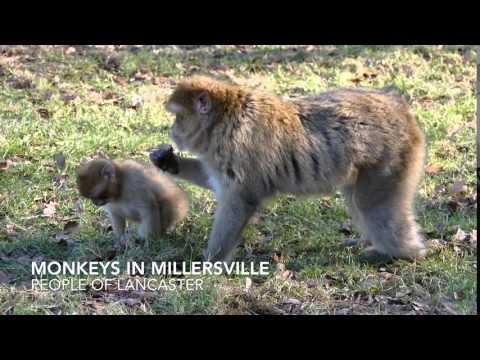 Monkeys in Millersville, Pennsylvania