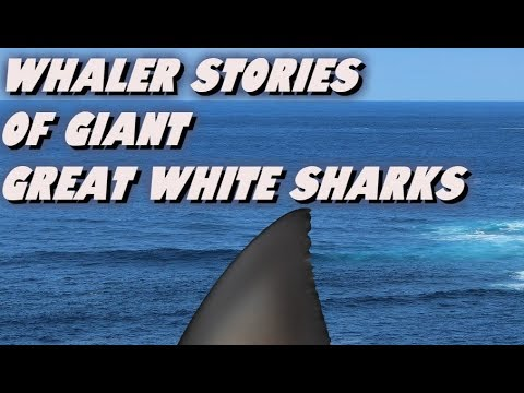 Whaler Stories Of Giant Great White Sharks