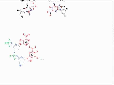 Bonding in DNA and RNA.mp4