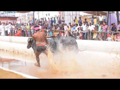 Kambala (buffalo race )  video jeppinamogaru mangalore 2017-2018
