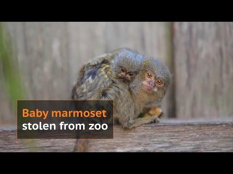 3 rare pygmy marmoset monkeys stolen from Sydney Park