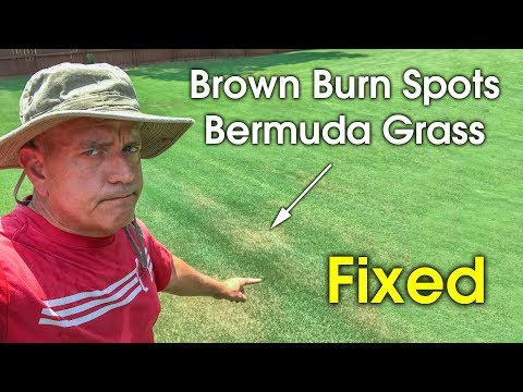 Brown Spots and Patches in Bermudagrass