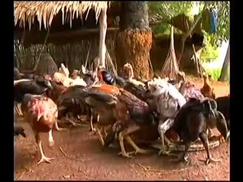 how to feed chicken in cambodia