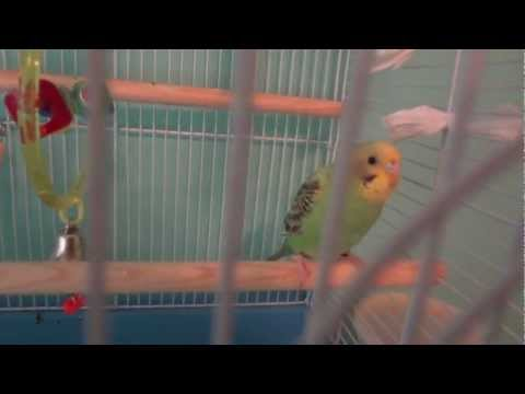 Two Happy Parakeets Chirping