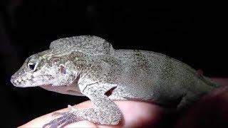 Huge Brown Anole! + update on Agama Lizard