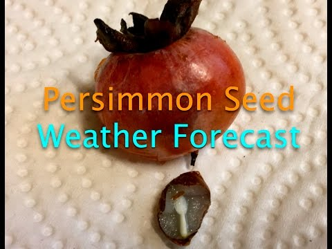 Persimmon Seed Weather Forecast~