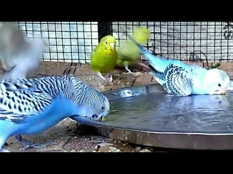 Lovebirds taking shower (in India). How to shower your love birds/budgie