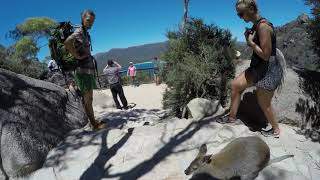 Wild Wallaby Visits Tourists at the Wineglass Bay Lookout In Tasmania