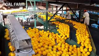 Amazing food processing machine 2017 - Oranges, Grapefruit, tangerine processing line packing