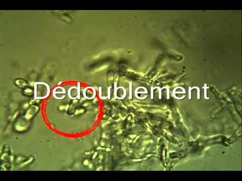 Microscopie du kéfir