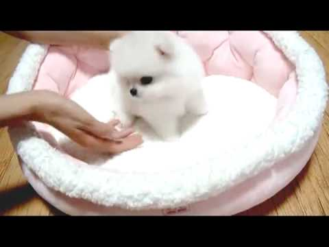 Tea Cup  pome tiny size dogs for sale
