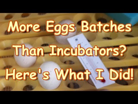 Three Incubators & Four Batches Of Eggs! What to do!