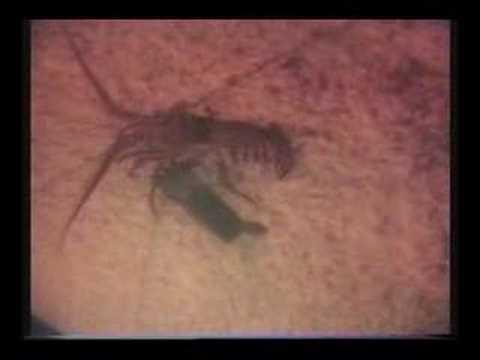 Spiny Lobster going to Lobster Caller ebait