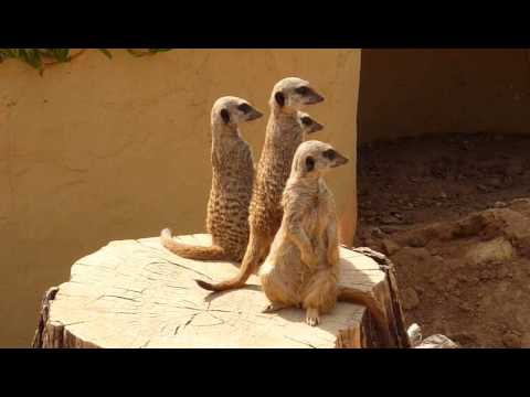 FUNNY MEERKATS TWITCHY looking for something