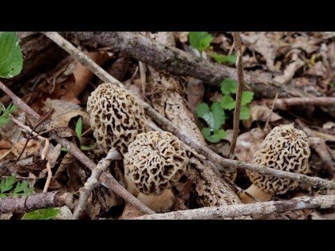 Morel Mushrooms Part 1