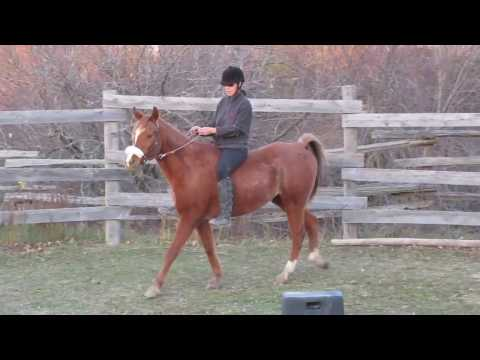 The Sour Horse: How To Change a Horse's Negative Bias Towards Being Ridden