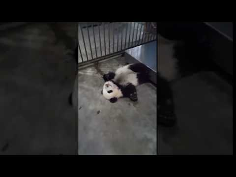 憤怒熊貓襲擊人類 Angry Panda Attack Human so Cute
