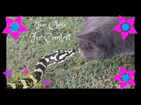 Jesse My Jungle Carpet Python Was Not Happy With My Cat
