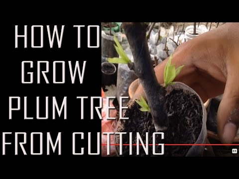 how to grow plum tree from a cutting