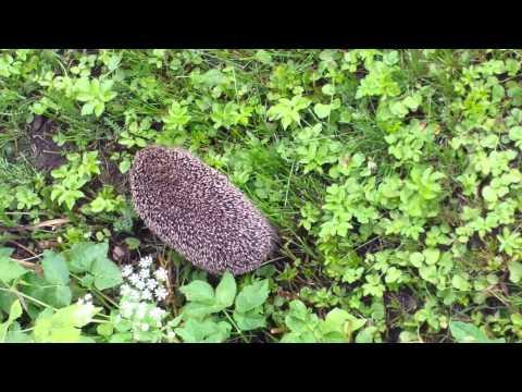 European hedgehog (Porcupine) in my garden!