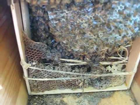 Africanized Beekeeping