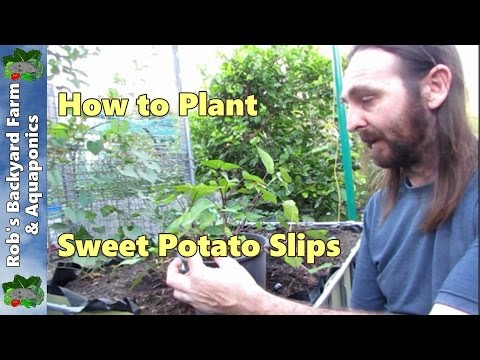 How to plant Sweet Potato slips.....
