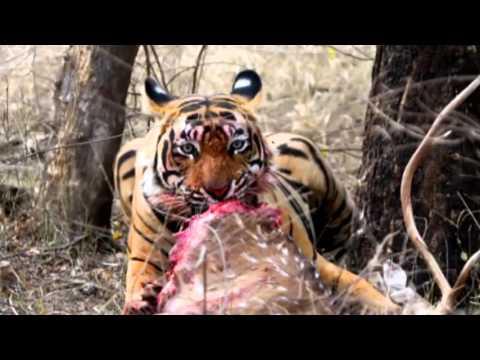World's Deadliest   Tiger Vs Deer   Sound Effect 30